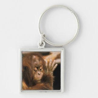 Borneo. Captive orangutan, or pongo pygmaeus. Silver-Colored Square Keychain