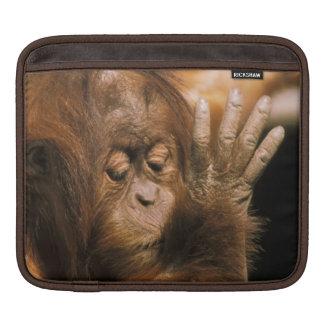 Borneo. Captive orangutan, or pongo pygmaeus. Sleeve For iPads