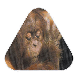 Borneo. Captive orangutan, or pongo pygmaeus. Speaker