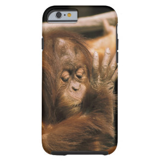 Borneo. Captive orangutan, or pongo pygmaeus. Tough iPhone 6 Case