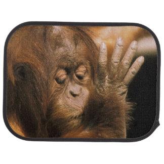 Borneo. Captive orangutan, or pongo pygmaeus. Floor Mat