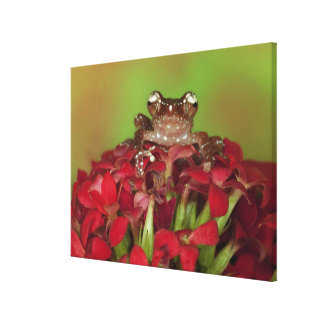 Borneo. Close-up of Cinnamon Tree Frog on red Canvas Prints