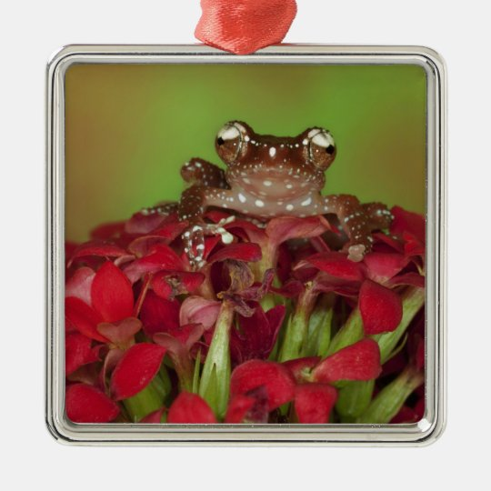Borneo. Close-up of Cinnamon Tree Frog on red Metal Ornament