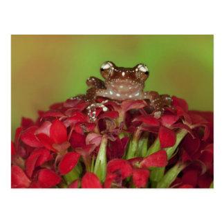 Borneo. Close-up of Cinnamon Tree Frog on red Postcard