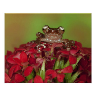 Borneo. Close-up of Cinnamon Tree Frog on red Poster
