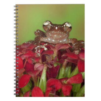 Borneo. Close-up of Cinnamon Tree Frog on red Spiral Note Book