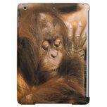 Borneo. Orangután prisionero, o pongo pygmaeus.