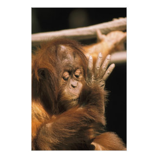 Borneo. Orangután prisionero, o pongo pygmaeus. Fotografia