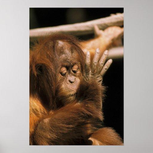 Borneo. Orangután prisionero, o pongo pygmaeus. Poster