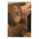 Borneo. Orangután prisionero, o pongo pygmaeus. Cuadros De Madera