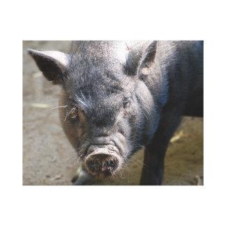 Borneo Pig Canvas Prints