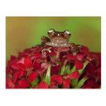 Borneo. Primer de la rana arbórea del canela en Postales