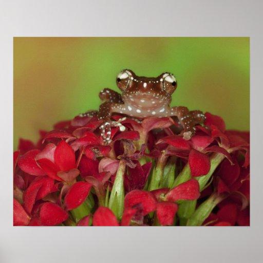 Borneo. Primer de la rana arbórea del canela en ro Póster