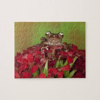 Borneo. Primer de la rana arbórea del canela en ro Rompecabezas Con Fotos