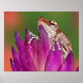 Borneo. Primer de la rana de Ttree del canela. Cré Impresiones