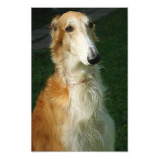 Borzoi, foto hermosa del perro ruso del wolfhound