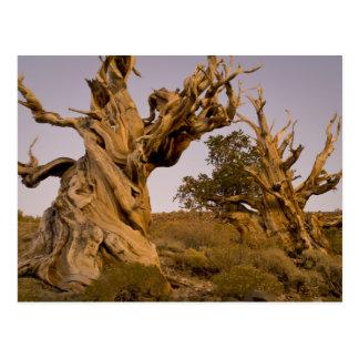 Bosque antiguo de Bristlecone, montañas blancas, Tarjetas Postales