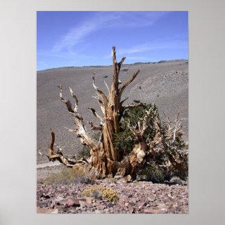 Bosque antiguo del pino del cono de la cerda póster