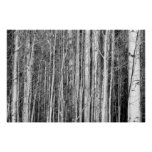 Bosque de Aspen Poster