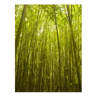 Bosque de bambú cerca del rastro de Waikamoi Postales