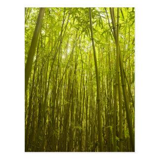 Bosque de bambú cerca del rastro de Waikamoi Ridge Postales