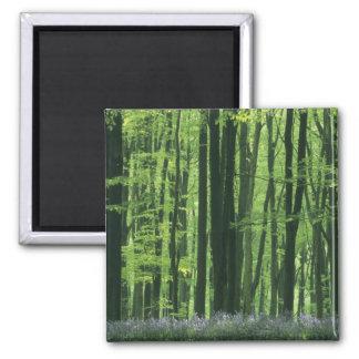 Bosque de Inglaterra, de la haya y Bluebells Imán Cuadrado