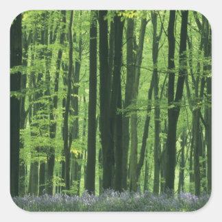 Bosque de Inglaterra, de la haya y Bluebells Pegatina Cuadrada
