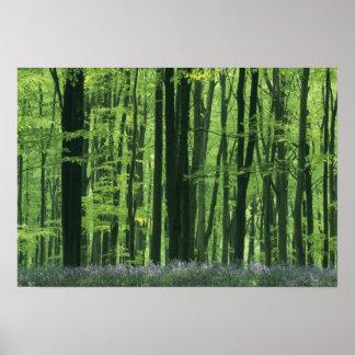 Bosque de Inglaterra, de la haya y Bluebells Póster