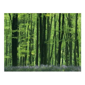Bosque de Inglaterra, de la haya y Bluebells Tarjetas Postales