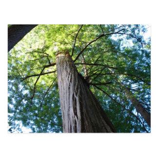 Bosque de la secoya - California Postales