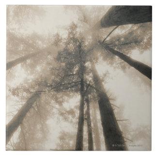 Bosque de la secoya, California septentrional Azulejo Cuadrado Grande