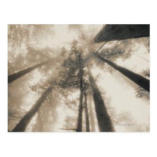 Bosque de la secoya, California septentrional Tarjetas Postales