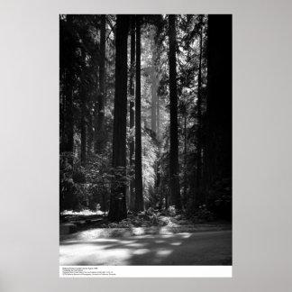 Bosque de la secoya, Grove del fundador, 1966 Poster