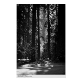 Bosque de la secoya, Grove del fundador, 1966 Póster