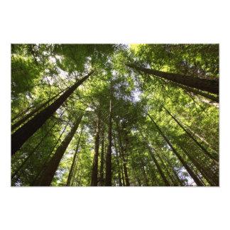 Bosque de la secoya, Rotorua, Nueva Zelanda Impresión Fotográfica
