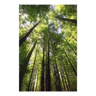 Bosque de la secoya, Rotorua, Nueva Zelanda Impresion Fotografica