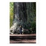 Bosque de la secoya tarjeta postal