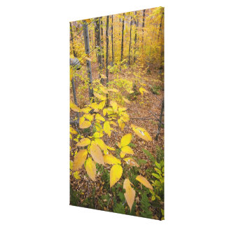 Bosque de madera dura septentrional en New Hampshi Impresiones De Lienzo