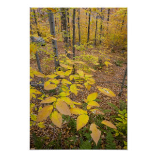 Bosque de madera dura septentrional en New Hampshi Posters