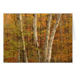 Bosque del abedul en otoño felicitacion