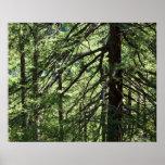 Bosque del abeto de la montaña póster