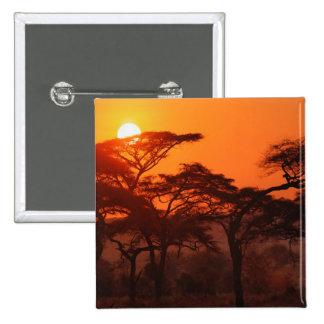 Bosque del acacia silueteado en la puesta del sol, pins