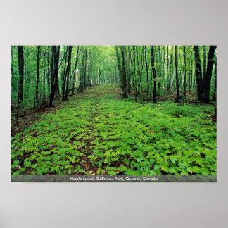 Bosque del arce, parque de Gatineau, Quebec, Canad Impresiones