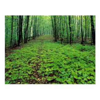 Bosque del arce, parque de Gatineau, Quebec, Canad Postales