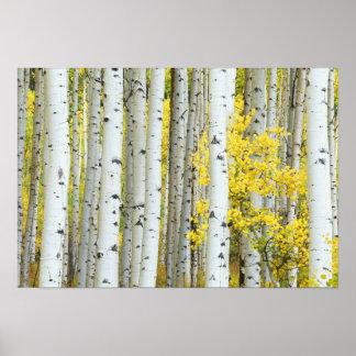 Bosque del Estado de los E.E.U.U., Colorado, el rí Póster