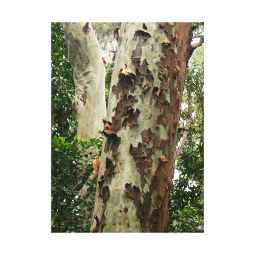 Bosque del eucalipto lona envuelta para galerías
