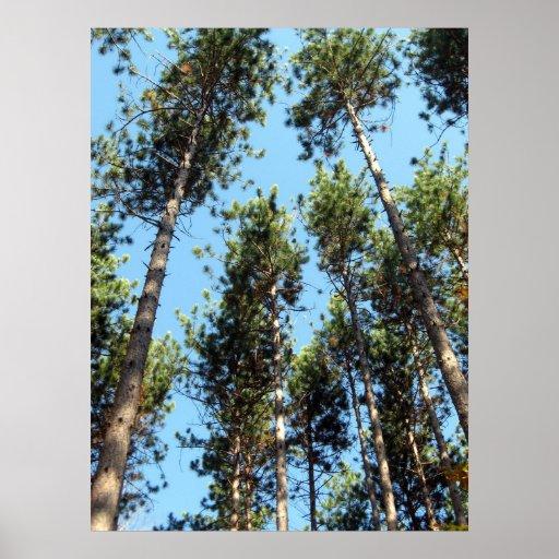 Bosque del pino rojo póster