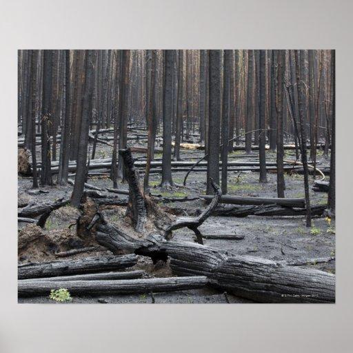 Bosque después del fuego en el parque nacional de  poster