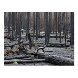 Bosque después del fuego en el parque nacional de postal