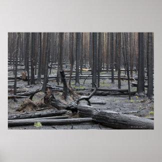 Bosque después del fuego en el parque nacional de  póster
